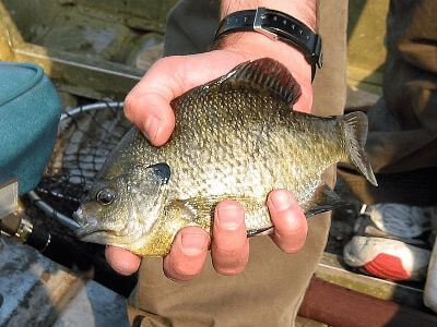 A bluegill caught while fishing