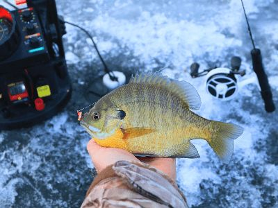 A bluegill caught while ice fishing