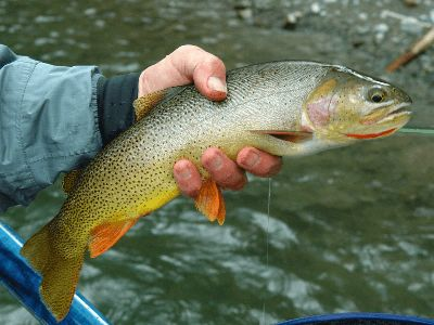 A cutthroat trout caught while fishing