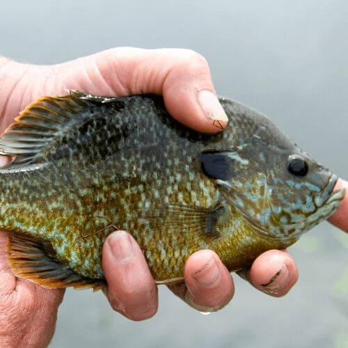 The Best Bluegill Fishing Tips
