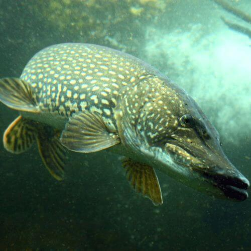 The Best Northern Pike Fishing Tips