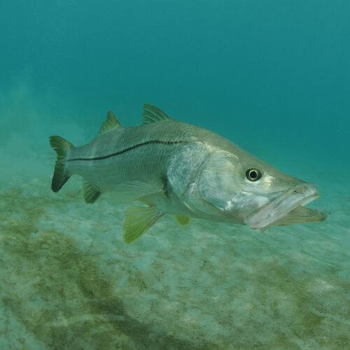 The Best Snook Fishing Tips