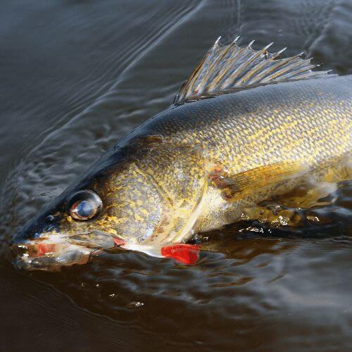 The Best Walleye Fishing Tips