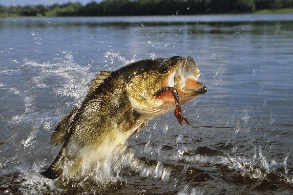 A largemouth bass jumping out of the water
